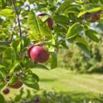 detalle de Apple orchard — Foto de Stock   #12180471