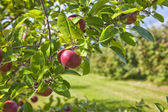 Apple Orchard Detail — Stock Photo