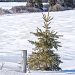 Winter Spruce Tree — Stock Photo #12660810
