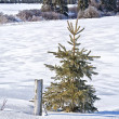Winter Spruce Tree — Stock Photo