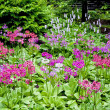 Stock Photo: Woodland Primula