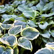 Stock Photo: Perennial Hosta