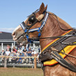 Stock Photo: Draft Horses