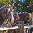 Draft Horses — Stock Photo