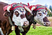 Oxen Team — Stock Photo