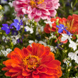 Zinnia Garden - Stock Photo