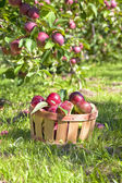 Val apple oogst — Stockfoto