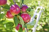Fall Apple Harvest — Stock Photo