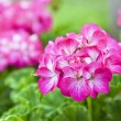 Pink Geranium — Stock Photo