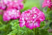 Rosa geranie — Stockfoto