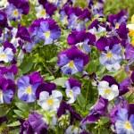 Colorful violas in the summer garden. — Stock Photo #18621169