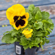 Pansy Seedlings — Stockfoto