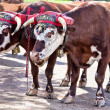 Farm Oxen — Stock Photo