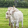 Charolais Cattle — Stock Photo