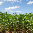 Corn Crop — Stock Photo #26460475