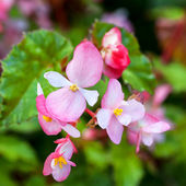 Begonias rosa — Foto de Stock