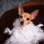 Toy Fox Terrier — Stock Photo #29568337