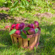 Apple Orchard — Stock Photo
