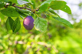 Plum Orchard — Stock Photo