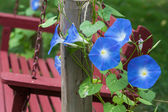 Morning Glory — Stock Photo