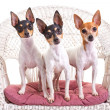 Постер, плакат: Toy Fox Terrier