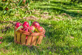 MacIntosh Apples — Stock Photo
