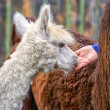 Young Alpaca — Stock Photo