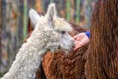 Young Alpaca — Stock Photo