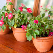 Impatiens Plants — Stock Photo