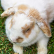 Stock Photo: Lop Earred Rabbit