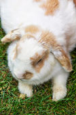 Lop Earred Rabbit — Stock Photo