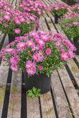 Fall Chrysanthemum — Stock Photo