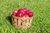 Récolte de pommes — Photo