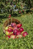 Apple Basket — Stock Photo