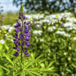 Stock Photo: Purple Lupin
