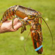Live Lobster — Stock Photo
