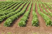 Field Lettuce — Stock Photo