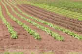 полевой салат — Стоковое фото