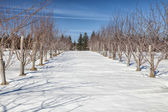 Winter Orchard — Stock Photo