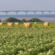 Prince Edward Island Potato Field — Stock Photo