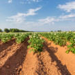 Prince Edward Island Potato Field — Stock Photo #34568919
