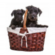 Mini Schnauzer Puppies — Stock Photo