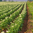 Stock Photo: Prince Edward Island Potato Field