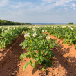 Prince Edward Island Potato Field — Stock Photo #34569111