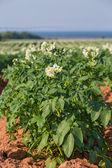 Prince Edward Island Potato Field — Stock Photo