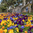 Pansies Flower Beds — Stock Photo