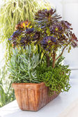 Sedum Planter — Stock Photo
