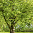 Linden Tree — Stock Photo