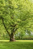 Linden Tree — Stock Photo