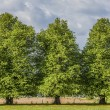 Linden Trees — Stock Photo